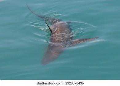 bronze whaler or copper shark, Carcharhinus brachyurus, Gansbaai, South Africa, Atlantic Ocean