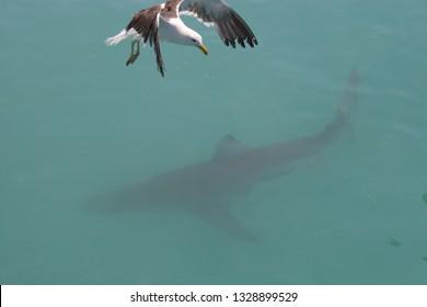 bronze whaler or copper shark, Carcharhinus brachyurus, and kelp gull, Larus dominicanus,  Gansbaai, South Africa, Atlantic Ocean