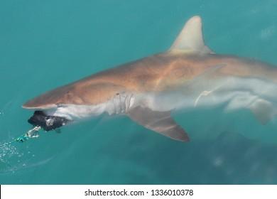 bronze whaler or copper shark, Carcharhinus brachyurus, taking the bait, Gansbaai, South Africa, Atlantic Ocean