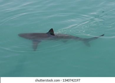 bronze whaler or copper shark, Carcharhinus brachyurus, swimming at surface, Gansbaai, South Africa, Atlantic Ocean