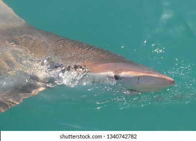 bronze whaler or copper shark, Carcharhinus brachyurus, swimming at surface, Gansbaai, South Africa, Atlantic Ocean; eye, nostril and ampullae of Lorenzini can be observed clearly