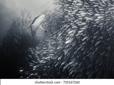 Bronze whaler shark swimming through a large sardine bait ball looking to feed during the sardine run, east coast of South Africa.