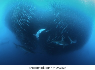 Bronze whaler sharks attacking a sardine bait ball during the sardine run, east coast of South Africa.