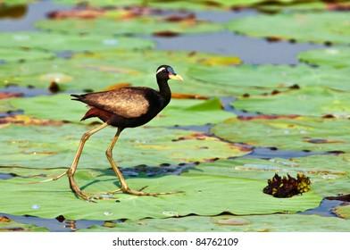 Bronze winged Jacana dancing on Lotus leaves