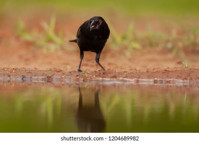 Bronzed Cowbird (male) searching for food around a water pond at Laguna Seca Ranch, April 17, 2015 in Edinburg, TX.