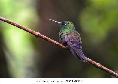 Bronze-tailed Plumeleteer (Chalybura urochrysia) in tropical rainforest, Costa Rica