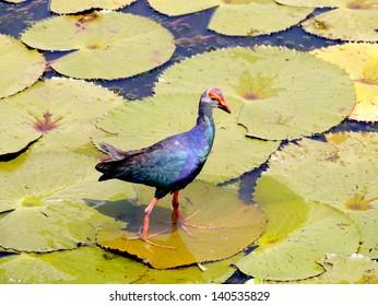 Bronze-winged Jacana bird in lotus lake, South of Thailand. (Metopedius indicus.)