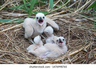 The brood of Marsh Harrier chicks in the nest hidden in the dense reed bed on Kihnu island, Pärnu county, Estonia