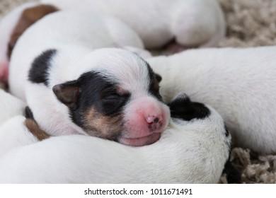 Brood newborn puppies breed jack russel terrier sleeping, Age six days