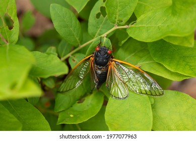 A Brood X, 17 year periodical cicada sitting on a leaf with open wings after a hard landing in natural light.