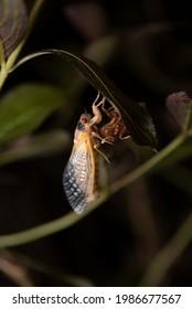 """Brood X périodique cicada peu après """"l'éclosion"""" de son exosquelette sur une feuille."""