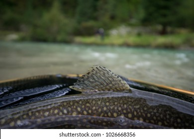 Brook trout with beautiful dorsal fin and fish pattern caught while fishing in the Austrian Alps in the Krimmler Ache lying in a net with blurred, blueish river in background.
