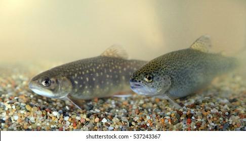 Brook trout, Salvelinus fontinalis und Rainbow trout, Oncorhynchus mykiss