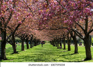 Brooklyn, New York: Visitors relax in the colonnade of cherry blossom trees in full bloom at the Brooklyn Botanic Garden. - Shutterstock ID 1007595034