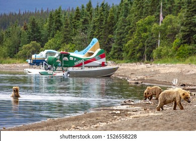 Brooks Falls, Katmai NP, Alaska - July 2019: Grizzly bears fishing for salmon with seaplanes in background