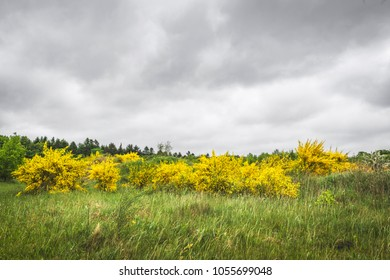 Broom bushes in beautiful yellow colors on a green meadow on a cloudy day in the summer