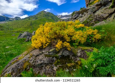 Broom yellow flower in the french Pyrenees with mountain peaks in background, Aston in Ariege