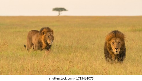 Brother lions on the prowl in the early morning light.