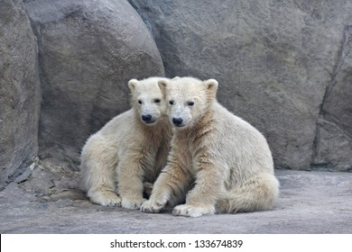 Brotherhood of polar bear cubs.