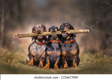 Brothers in Arms.  Three sausage dogs holding large stick, funny and cute photo in countryside.