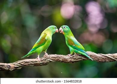 Brotogeris jugularis, Orange-chinned parakeet The bird is perched on the branch in nice wildlife natural environment of Costa Rica, parrot