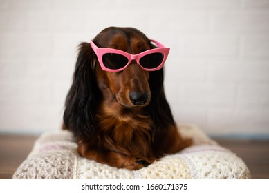 broun dog dachshund in sun glasses