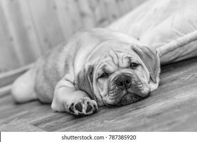 Brown 8 weeks old Ca de Bou (Mallorquin Mastiff) puppy dog lying on a parquet floor (black/white)