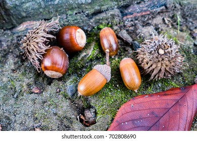 brown acorns and some nuts on autumn leaves