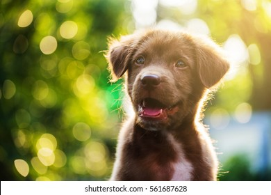 Brown adorable nova scotia duck tolling retriever puppy dog head shot portrait, looking at the camera, against sunset light and bokeh yard background