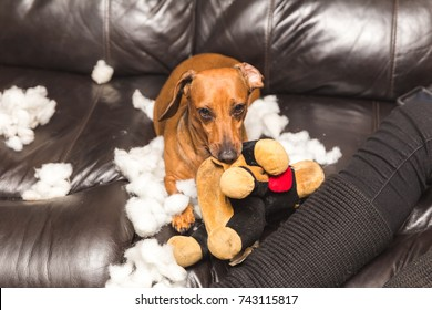 Brown, adult dachshund tearing the stuffing out of a toy while sitting on a couch.
