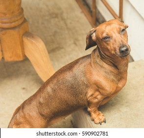 Brown, adult dachsund standing on a concrete step.