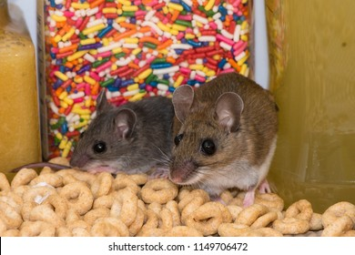 A brown adult house mouse, Mus musculus, and a gray juvenile standing on spilled cereal in a kitchen cabinet. Behind the two mice in the pantry are colorful candy shots and two yellow jars of food.