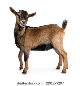 Brown agouti pygmy goat standing side ways with head turned and looking to camera, isolated on white background