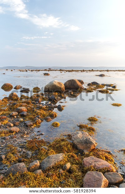 Brown algae Fucus on the shore of Solovetsky island in the White Sea at sunset