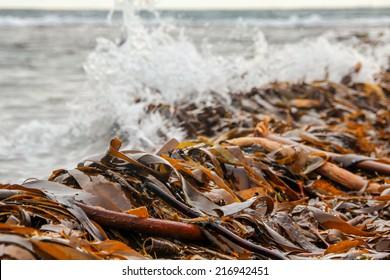 Brown algae at the seashore in Iceland