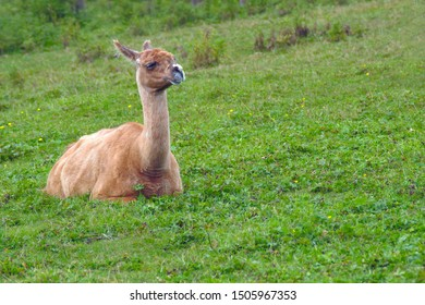 brown alpaca lama sitting in green field wool farm agriculture