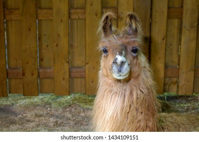 brown alpaca llama head wool agriculture mammal