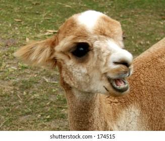 A brown alpaca looks to camera