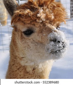 Brown Alpaca With a Snow Covered Nose - Minnesota