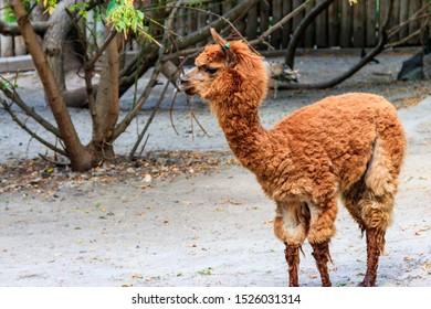 Brown alpaca (Vicugna pacos) on farmyard