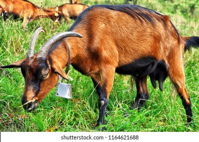 Brown alpine goat with bell eating grass.Flocks of alpine goats on pastur.