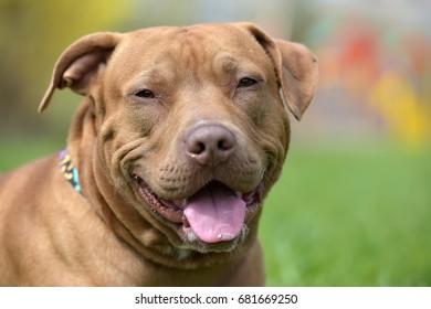 Brown American Pit Bull Terrier portrait