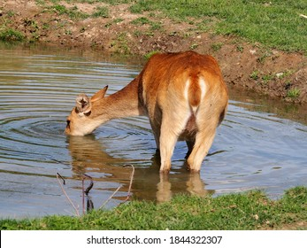 brown animal standing in a pond drinking water on a sunny day, brown background wallpaper,
