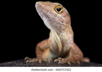 The brown anole (Anolis sagrei) also knwon as the Bahamas anole was native to the Bahamas and Cuba. But these lizards are highly invasive and are now found across the southern United States.