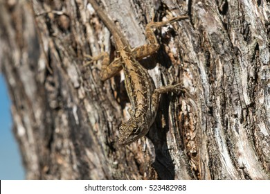 Brown Anole (Anolis sagrei) Lizard On A Tree, Tavernier, Key Largo, Florida