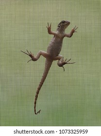 Brown anole is clinging to a wire mesh window screen against a blurred green background viewed from inside the window.