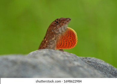 Brown Anole Lizard (Male) Basking under the Sun