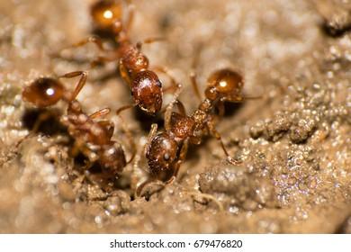 Brown ants teamwork macro shot