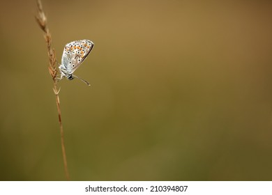 Brown argus butterfly against a smooth brown background