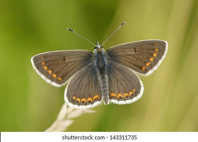 Brown Argus Butterfly (Aricia agestis) in Martin Down Nature Reserve, England
